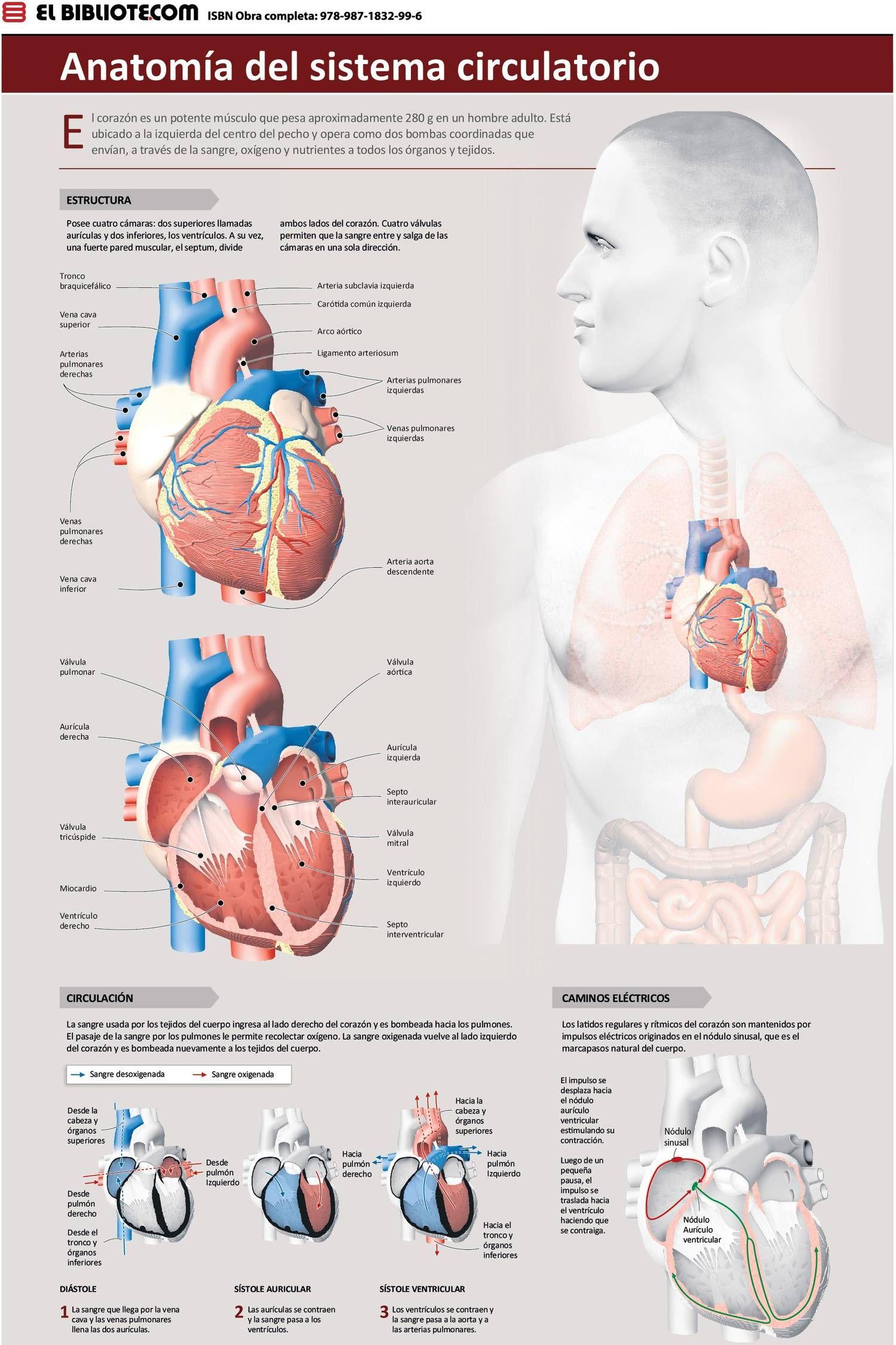 anatomiasistemacirculatorio.jpg (1500×2250) | Salud | Pinterest ...