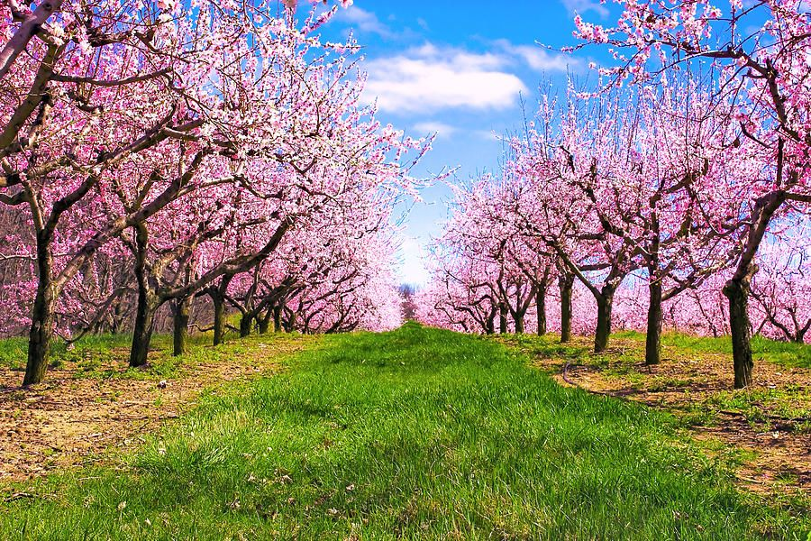 Apple Blossom Orchard By Jeramie Curtice Apple Blossom Blossom Trees Beautiful Gardens