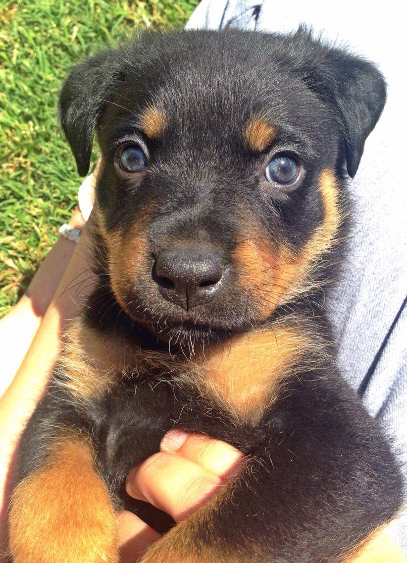 6 Week Old Rottweiler Puppy Love Rottweiler Puppies Yellow Lab Puppies Rottweiler Love