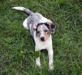 Want Ryley Is An Adoptable Australian Cattle Dog Blue Heeler