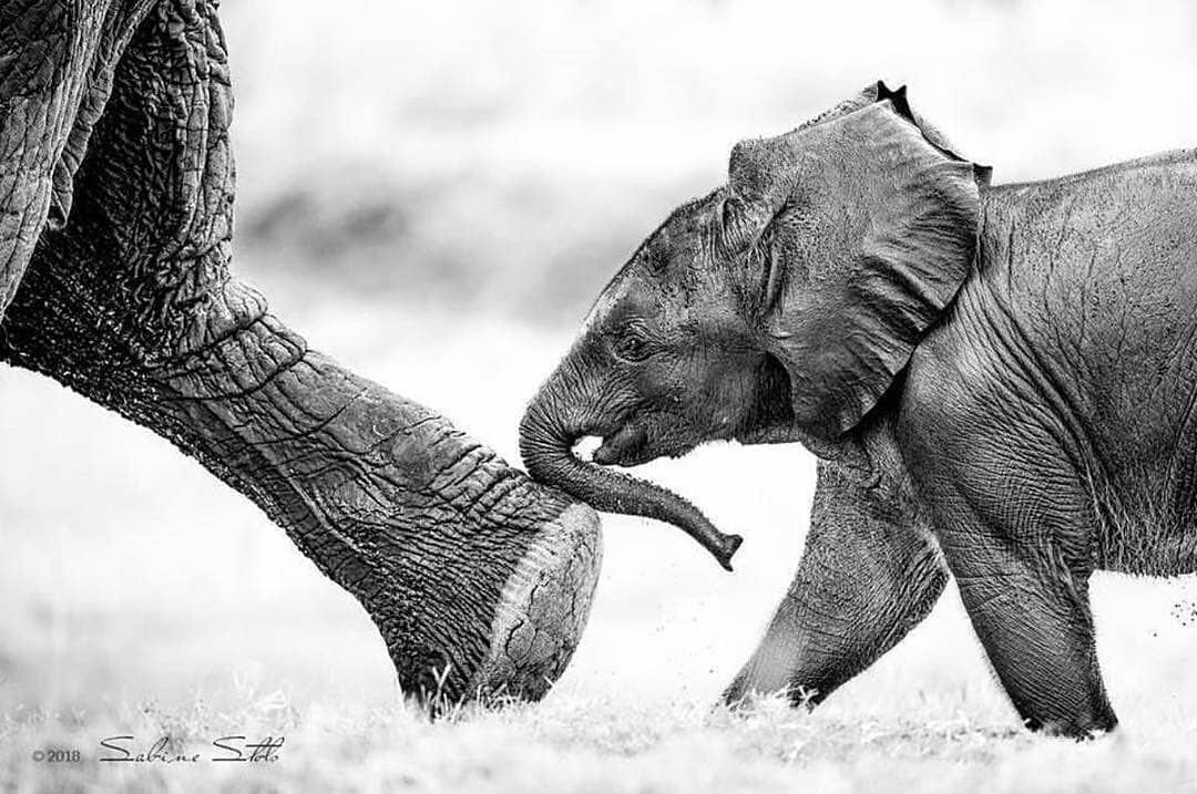 """839 Me gusta, 5 comentarios - Elephant Gifts (@elephant.gifts) en Instagram: """"🐘💕🐘💕😙 @featured_wildlife - . Featured Wildlife Shot of the Day ✧ Photographer: @sabine_stols ✧ 👉For…"""""""