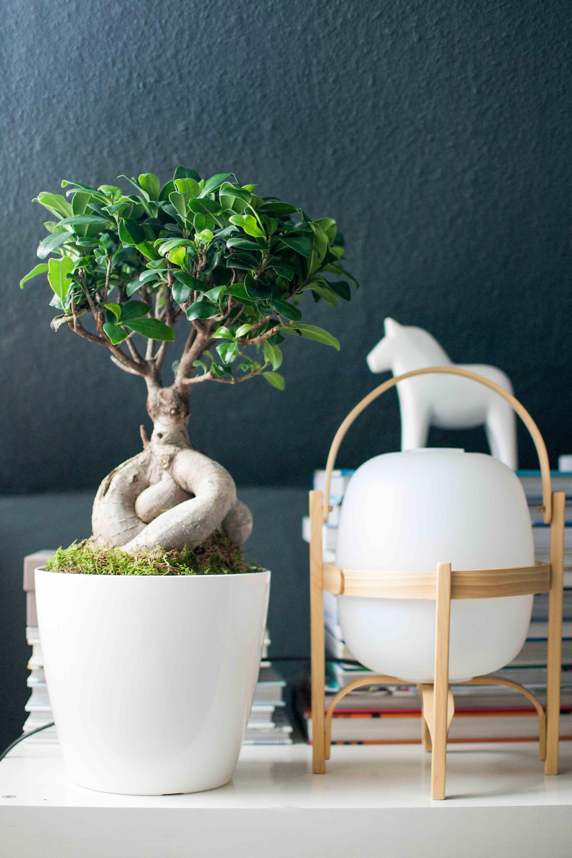 Schwarze Wand und weiße Deko stehen dem Ficus Ginseng sehr gut
