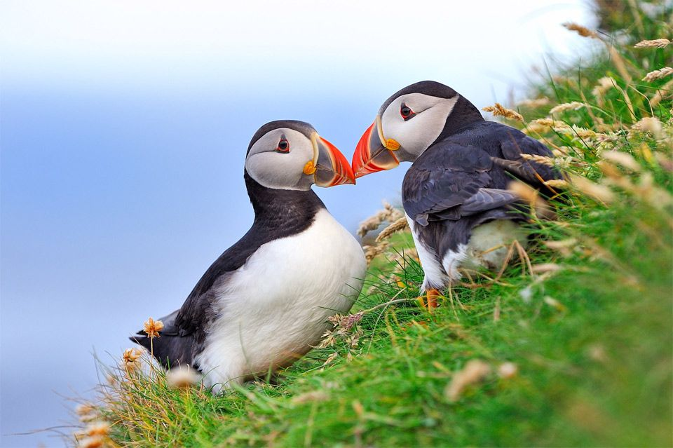 Image result for puffin couples