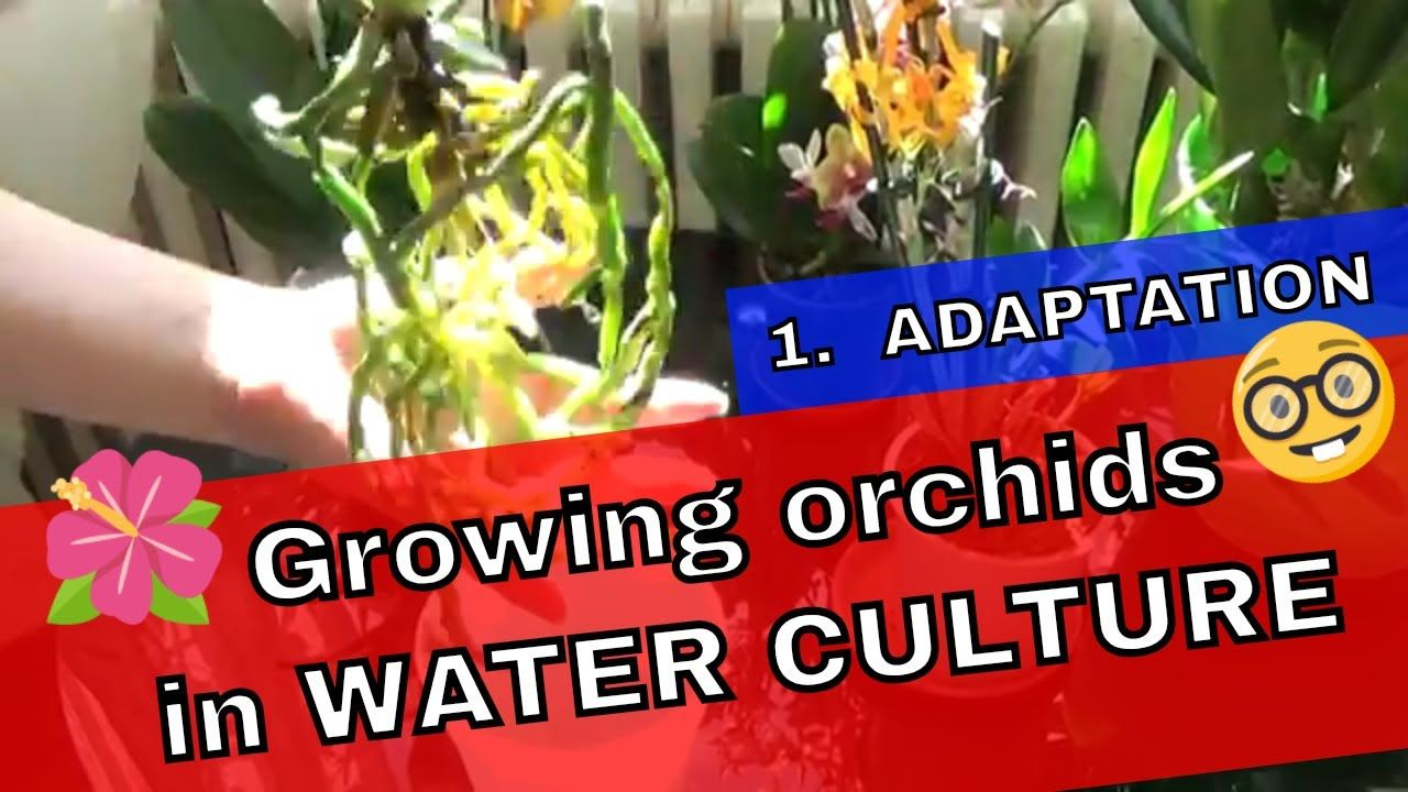 How To Grow Orchids In Water Culture - First step - The Adaptation #growingorchids