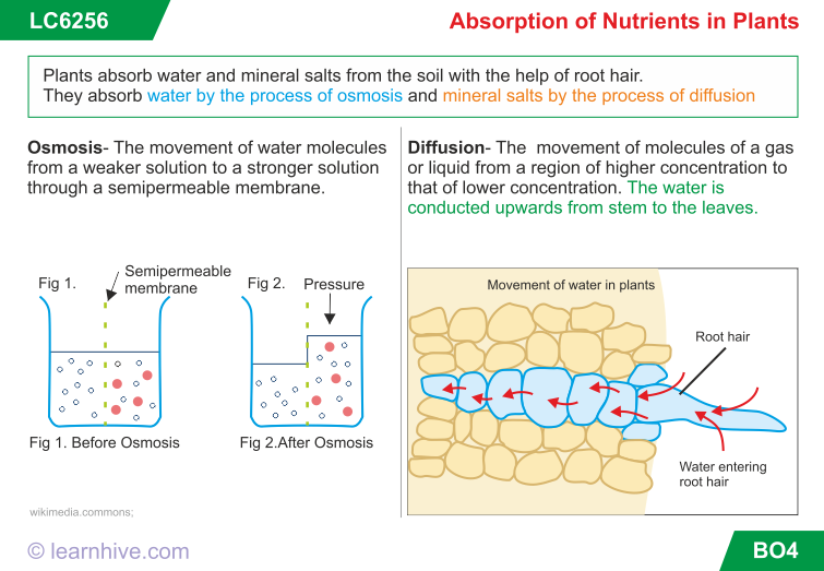 learning card for Absorption of Nutrients in Plants