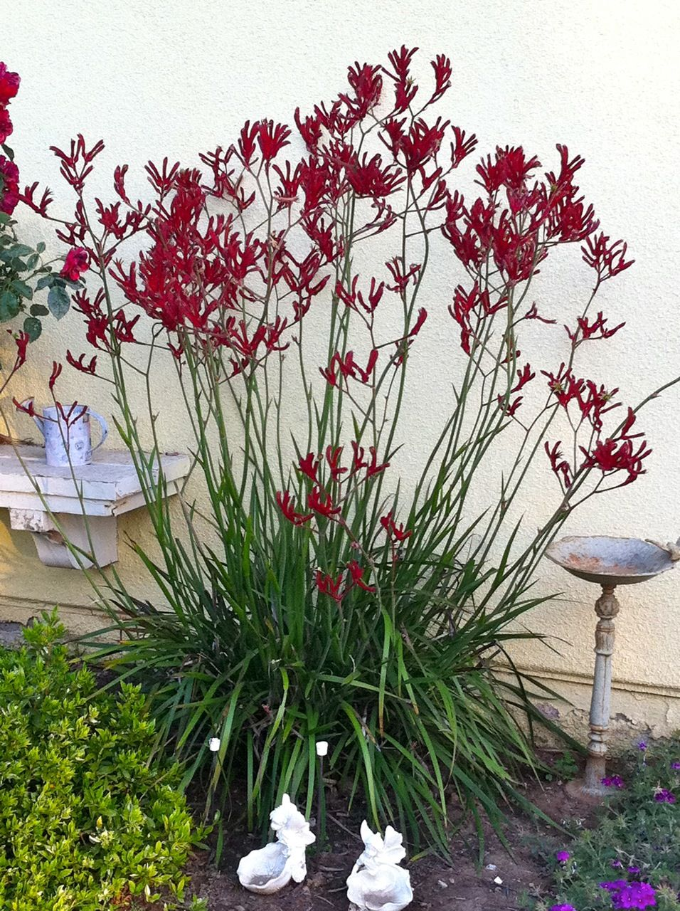 Pin By Design Scout On Inness Gerard Kangaroo Paw Red Plants Plants