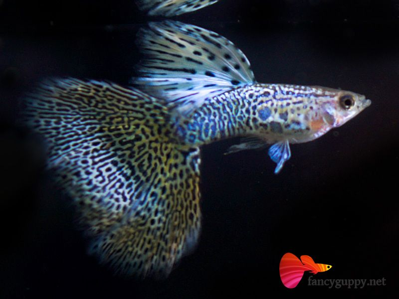 Yellow King Cobra Guppy Guppy Guppy Fish Aquarium Fish