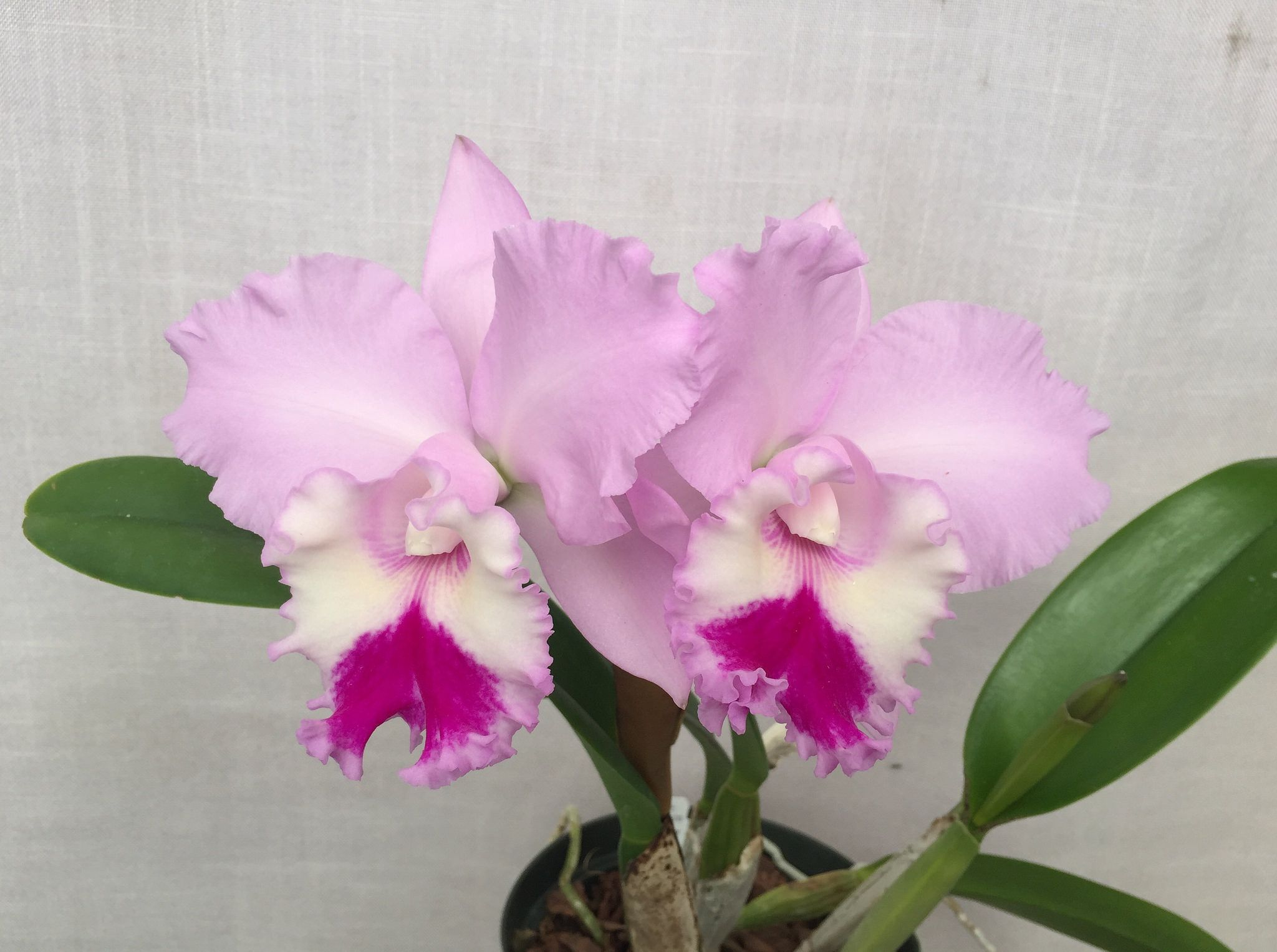 Rhyncholaeliocattleya Chief Pink Diana Chief Snow X November Bride Z 21070 Rhyncholaeliocattleya Cattleya Pink Fragrant Orchid Orchidsbyhausermann Orchid Flower Beautiful Orchids Orchids