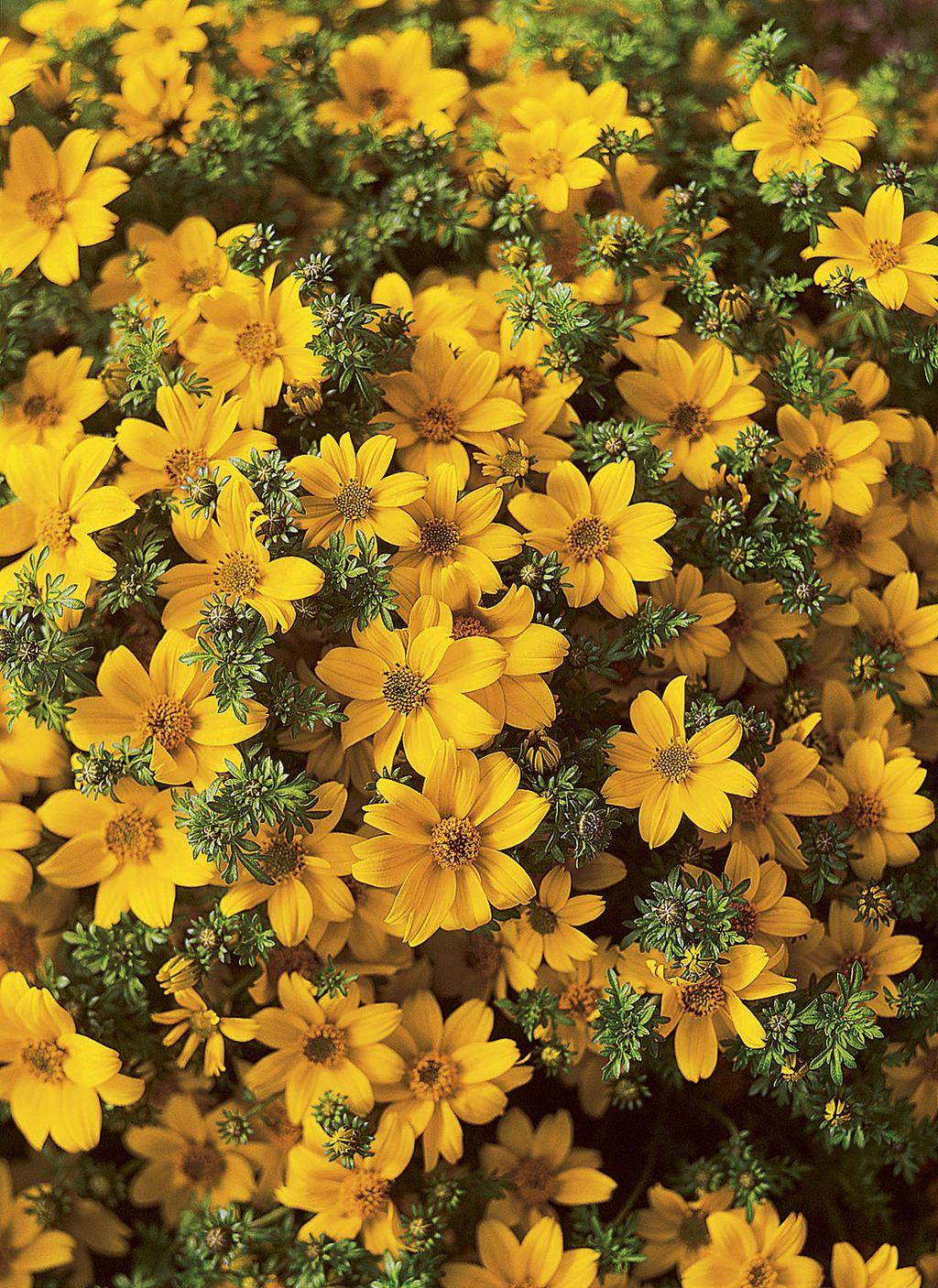 Bidens \'Marietta Gold Spark\' | Beautiful Blooms | Pinterest | Plants ...