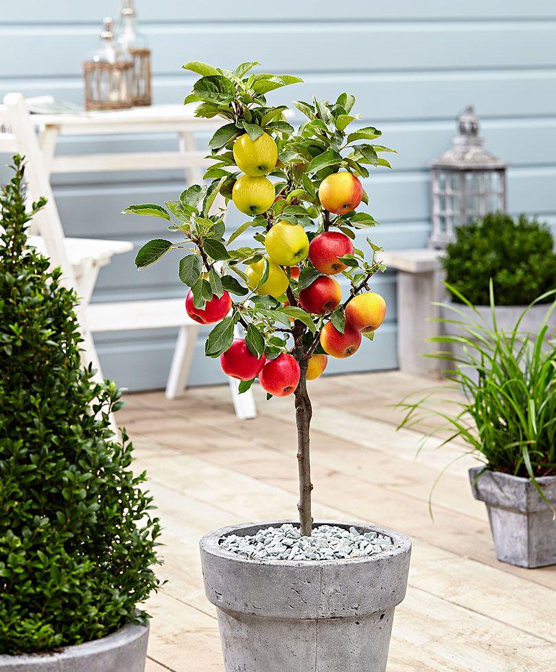 Pommier trio greff sur tige fruits l gumes bakker for Plante exterieur toute saison