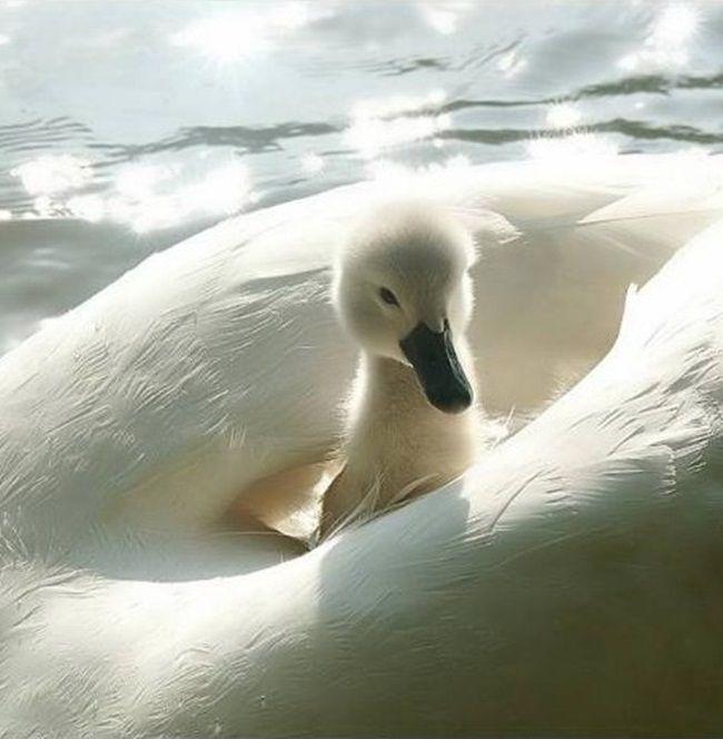Baby Swan | Baby Swan Wallpaper 1920x1080 Baby, Swan