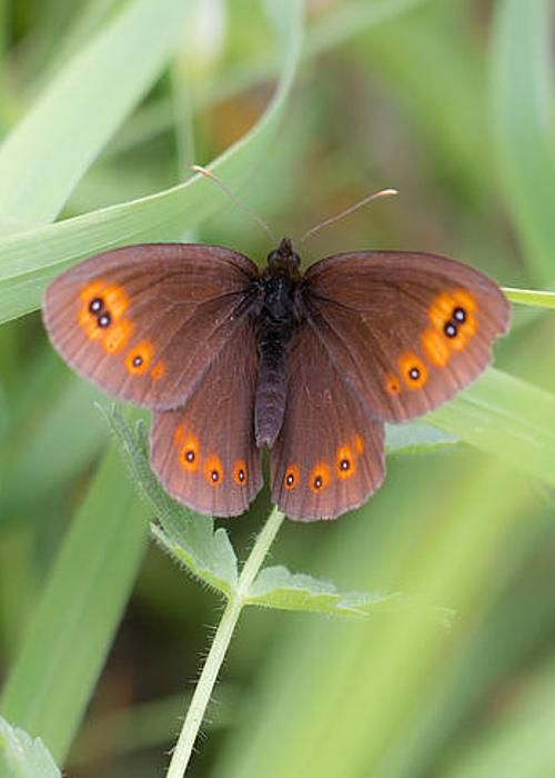 Woodland Ringlet Butterfly by Jivko Nakev