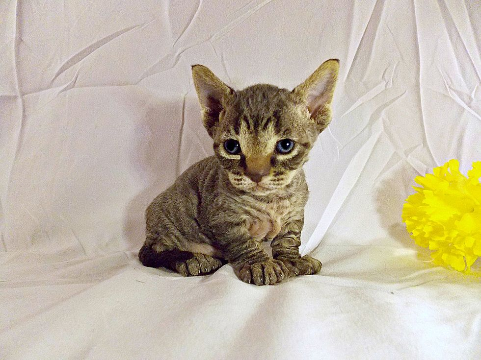 Serval Kittens For Sale Tennessee