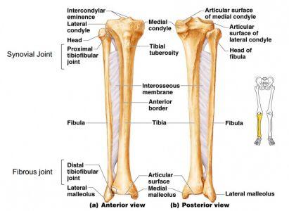 Tibia & Fibula | Anatomy | Pinterest | Occupational therapy