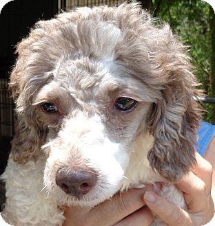 Crump Tn Miniature Poodle Meet Lulu A Dog For Adoption Miniature Poodle Poodle Dog Dog Adoption