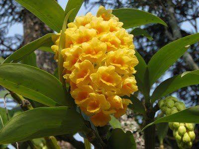 Pineapple orchid Dendrobium densiflorum.