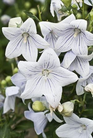 Platycodon grandiflorus Fairy Snow- small plant