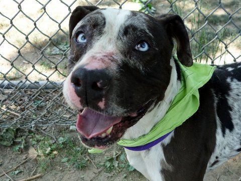 SAFE 6-3-2015 --- Manhattan Center DOT aka SPOT – A1037273  MALE, WHITE / BLACK, PIT BULL MIX, 3 yrs STRAY – ONHOLDHERE, HOLD FOR ID Reason STRAY Intake condition EXAM REQ Intake Date 05/23/2015