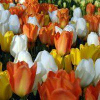 Tulip fosteriana mixed