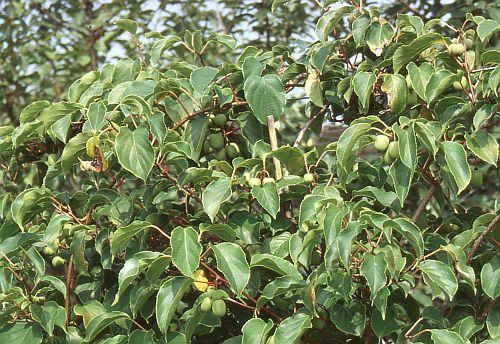pin von eva schumann auf garten und pflanzen pinterest winterhart pflanzzeit und kiwi pflanzen. Black Bedroom Furniture Sets. Home Design Ideas