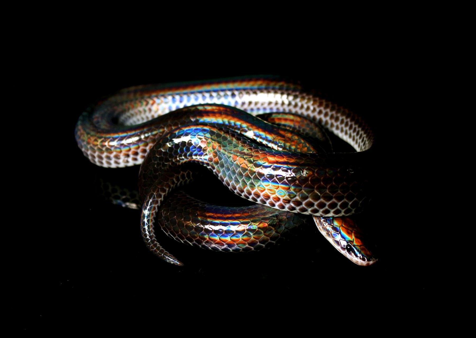 зона сложными красивые картинки змей с золотом лучших