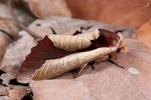 Moth that looks like a dead leaf