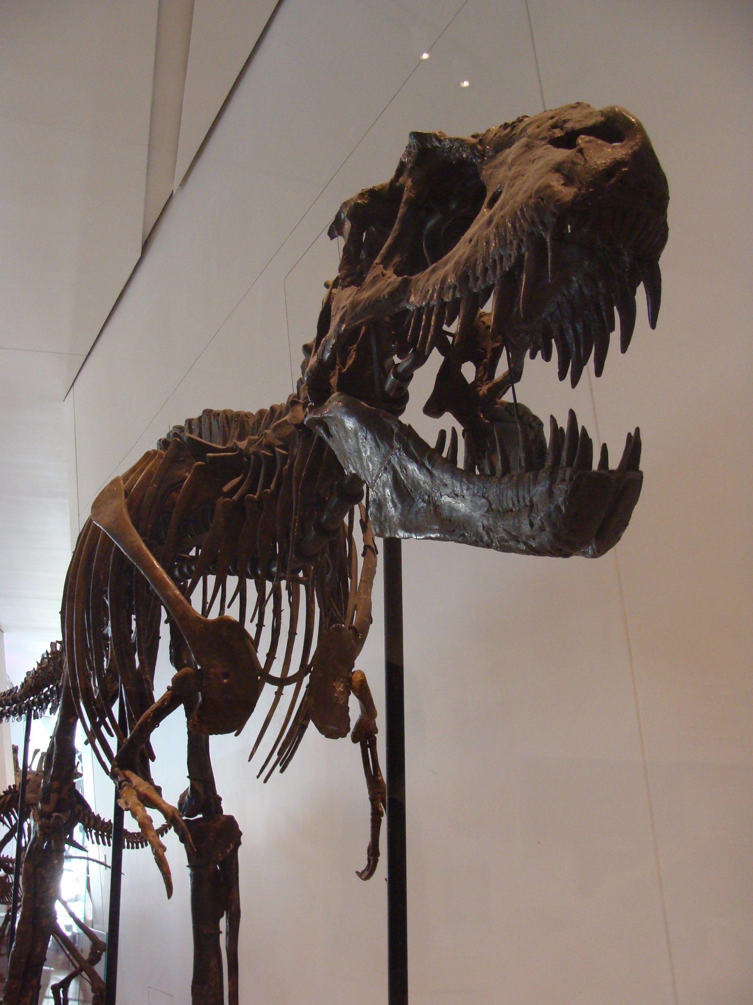 Albertosaurus_libratus.JPG (2448×3264) - Avant : Gorgosaurus libratus. Royal…