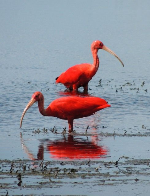 Foto guará (Eudocimus ruber) por Beatriz Cirino | Wiki Aves - A Enciclopédia das Aves do Brasil