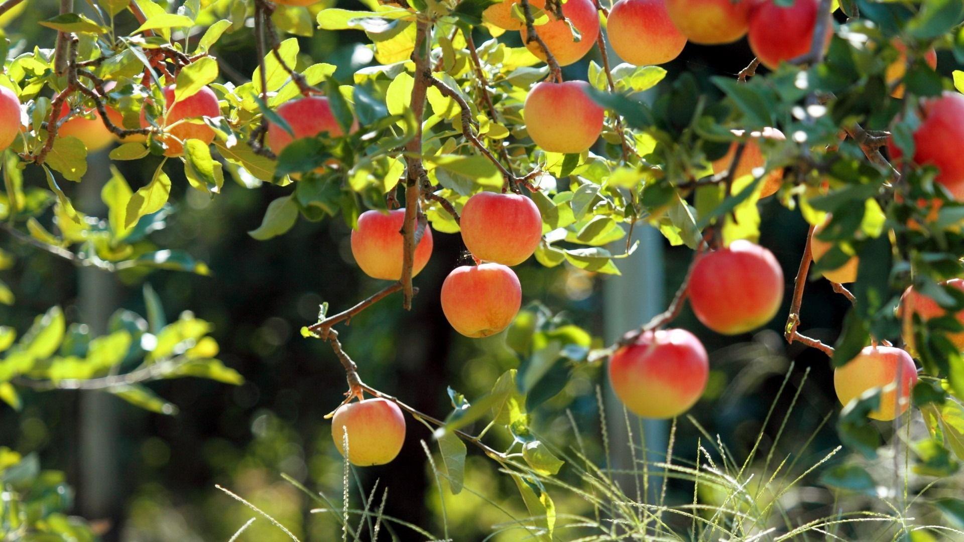 Quality Designs Of Apple Hd Wallpaper Free Fruit Garden Fruit Trees Fruit Wallpaper
