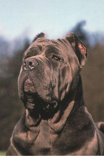 Neapolitan Mastiff Mastino Napolitano Neopolitan Mastiff Large Dog Breeds Dog Breeds