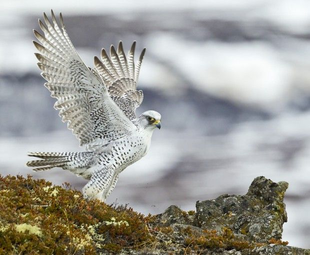 Gyrfalcon on her territory in northern Iceland. Photo:Daniel Bergmann