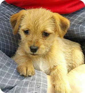 Schaumburg Il Shih Tzu Terrier Unknown Type Small Mix Meet Cleo A Puppy For Adoption Http Www Adoptapet Com Pet Puppy Adoption Pet Adoption Shih Tzu