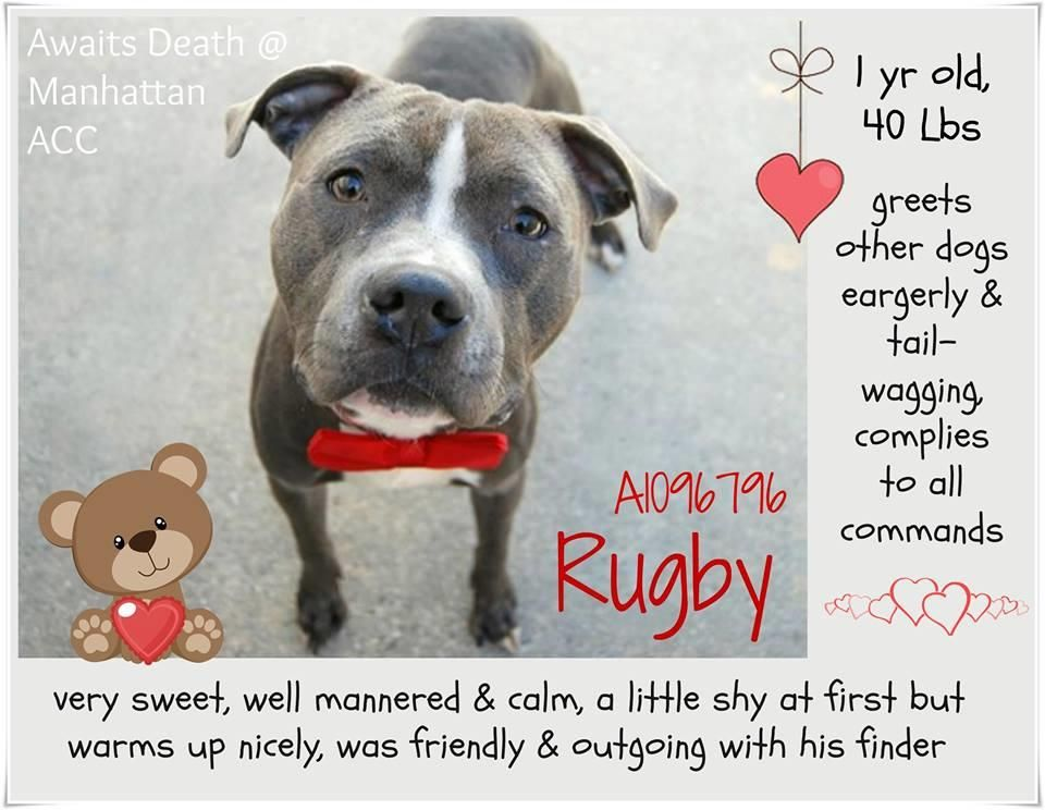 RUGBY A1096796 Sweet shy pup on death list today! If you would like to foster or adopt and can't make it to the shelter, please write an email NOW to the Urgent Help Desk at: Helpcats@Urgentpodr.org Their experienced volunteers will assist you one-on-one with rescues and the application process. Transport can be arranged by rescues to the homes of approved fosters or adopters within 3-4 hours of New York City