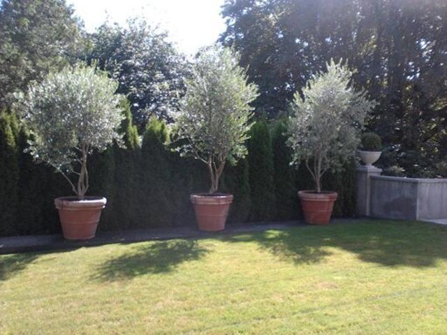 Pendolino olive tree | Mediterranean garden, Garden