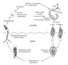 paraziti kod macaka slike dăunători pentru paraziți ai pielii