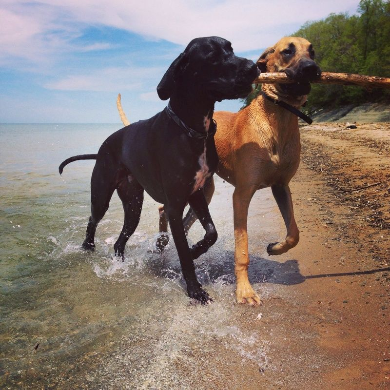 Fun At The Beach A Community Of Great Dane Lovers Great Dane