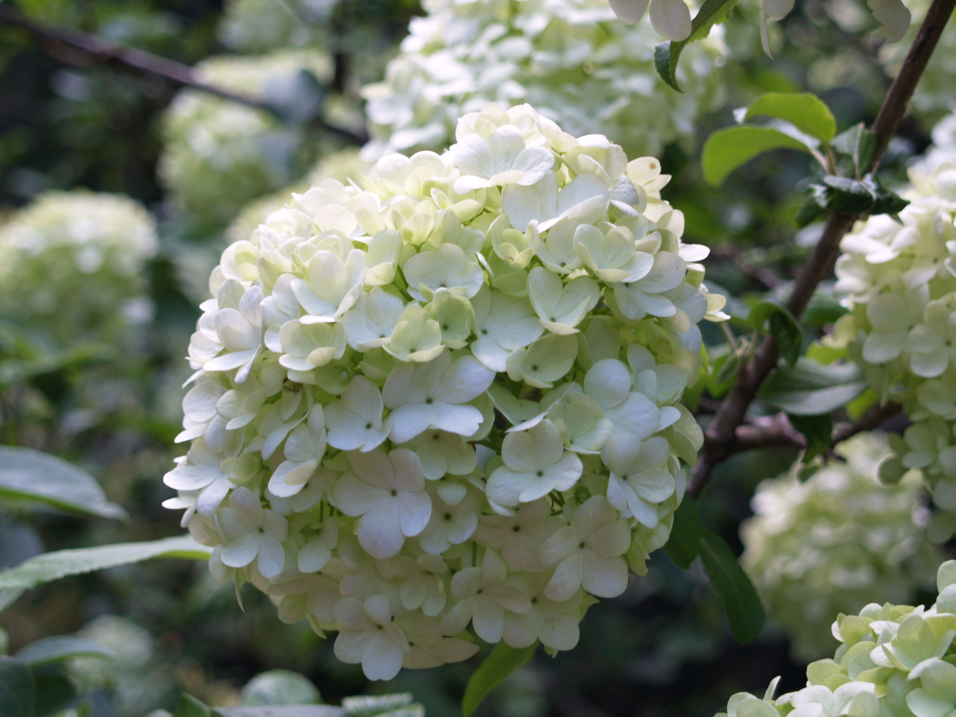 Snowballs trees and shrubs of the south pinterest shrub shrubs perennials shrub snowballs mightylinksfo