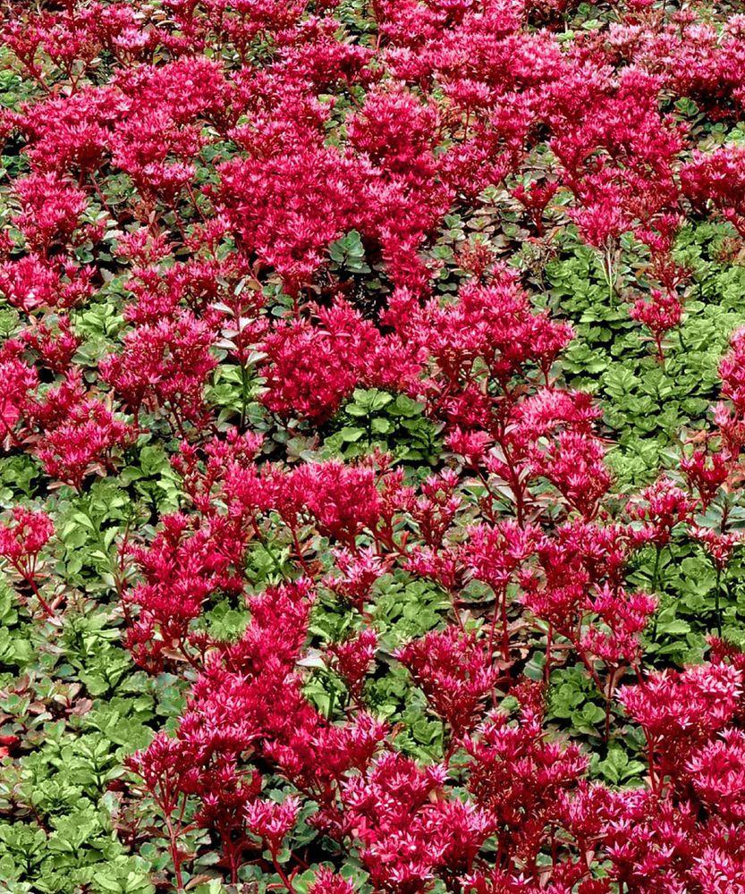 Stonecrop red creeping sedum perennial red flower 3 live plants stonecrop red creeping sedum perennial red flower 3 live plants dhlflorist Gallery