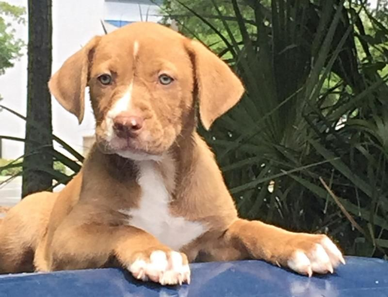 Adopt Mallory On Pet Adoption Retriever Dog Adoption
