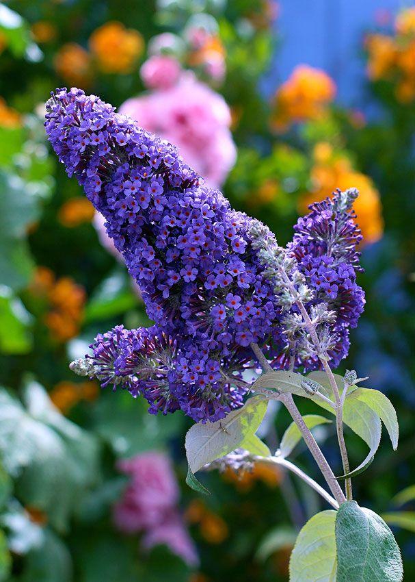 Buddleja Davidii Ellen S Blue Butterfly Bush Plants Amazing Flowers