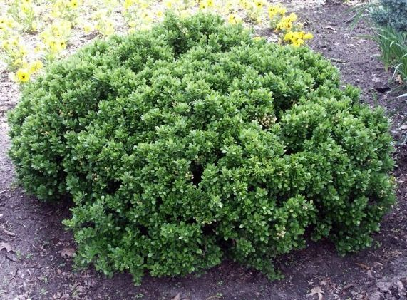 Berberis buxifolia 39 nana 39 small shrubs less than 1 5 m for Small bushes for landscaping