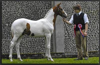 Coloured Dutch Warmblood Stallion At Stud Umenno