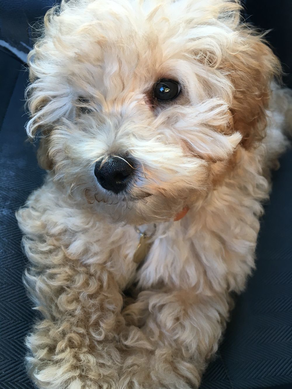 Jackapoo Puppy Poodle Mix Poodle Mix Dog Breeds Puppies