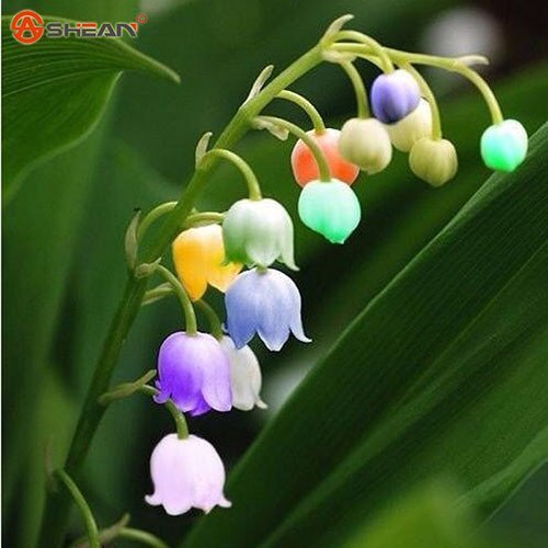 Amazon Com Convallaria Majalis Colorful Lily Of The Valley Orchid Seeds 100 Seeds Item No 2 Ga Orchid Seeds Lily Of The Valley Flowers Lily Flower Seeds