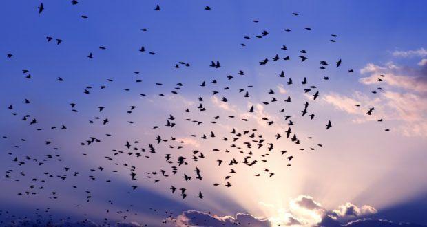 صور عن هجرة الطيور في سرب طيور مهاجرة روعة ميكساتك Bird Migration Beautiful Flowers Wallpapers Nature