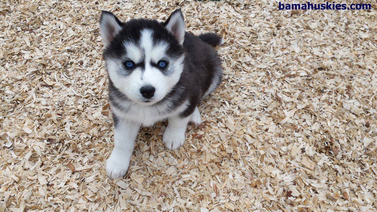 Amber Husky Puppy Update 4 25 14 Bama Huskies Bama Huskies