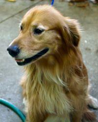 Adopt Cody On Dogs Golden Retriever Buy A Cat Golden Retriever Rescue