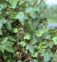 Edible Hedge Currants And I Love Them In My Tea For