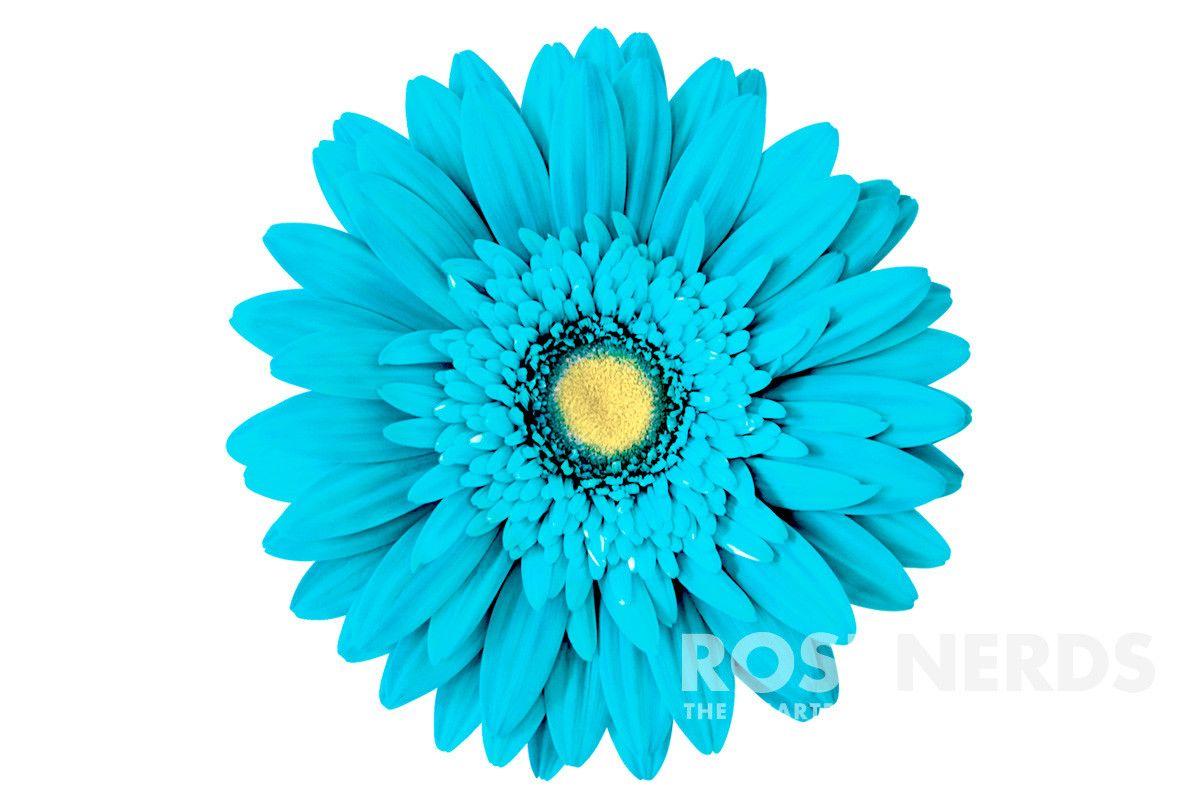 Gerbera Daisy October Flower Daisy Image Gerbera Daisy Light Blue Color