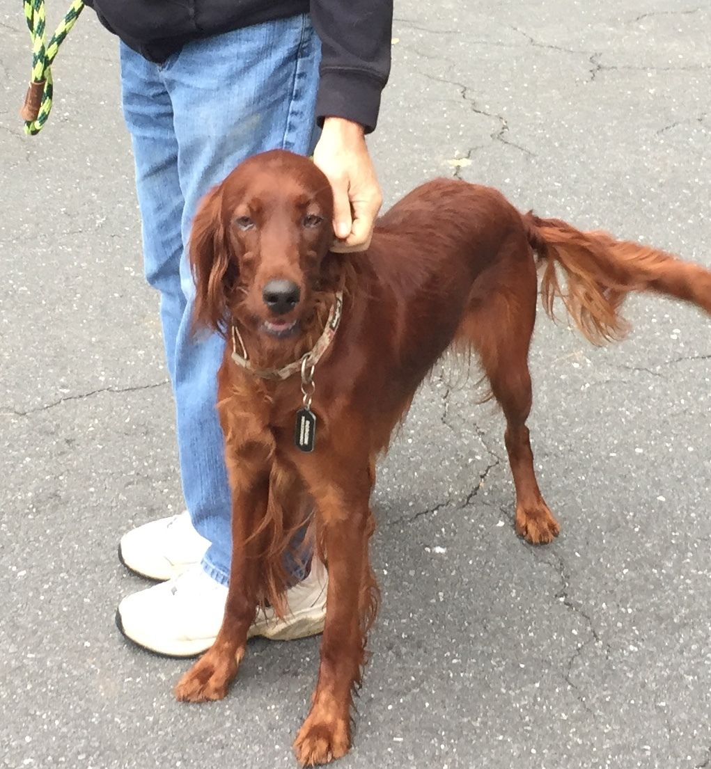 Adopt Reagan on Irish setter dogs, Irish setter, Animal